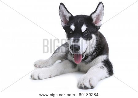 Adorable Alaskan Malamute Puppy on White Background in Studio
