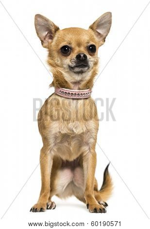 Front view of a Chihuahua wearing a pink collar, sitting, 2,5 years old, isolated on white