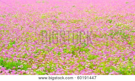 A field of chinese milk vetch, Astragalus sinicus, blooming at early summer