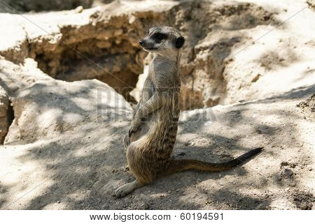 European Ground Squirrel (spermophilus Citellus, Suslik, Gopher)