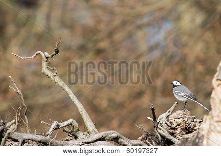 White Wagtail, Motacilla Alba
