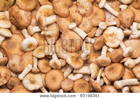A Large Number Of Fungi Honey Fungus.
