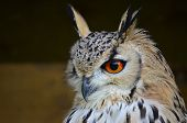 stock photo of owl eyes  - bright orange eyes on this stunning owl - JPG