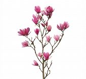 stock photo of magnolia  - Pink magnolia flowers isolated on white background - JPG