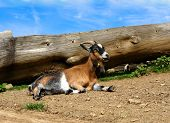 Natura, Farm,young Goat,