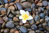 stock photo of frangipani  - white frangipani on river stones in the park
