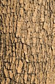 pic of elm  - Bark of Elm tree use as background Texture - JPG