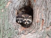 pic of raccoon  - A couple of young Raccoons poke their heads out of a hole in a tree nervous about an approaching storm - JPG