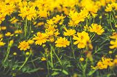 stock photo of cosmos flowers  - Yellow cosmos flower garden in vintage filter - JPG