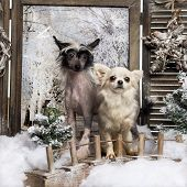 Front view of a Chinese crested dog puppy and Chihuahua standing on a bridge, in a winter scenery