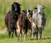 stock photo of goat horns  - domestic goat on field in spring - JPG