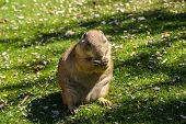 picture of gopher  - European ground squirrel  - JPG