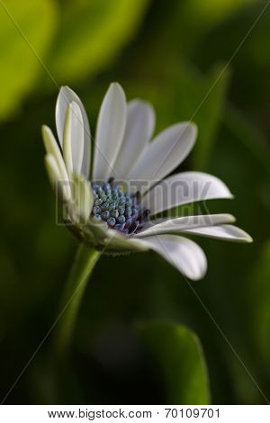 stunning white osteospermum also known as an african daisy.