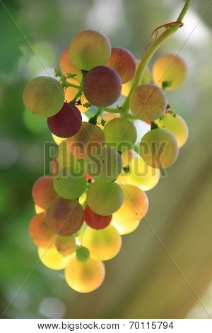 Muscat Grapes With Back Lighting