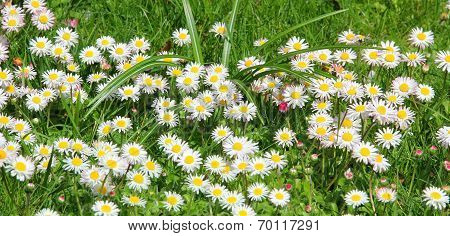 Garden Lawn, Blotched With Daisy Flowers