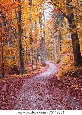 Autumn Walkway Through Beech Tree Forest