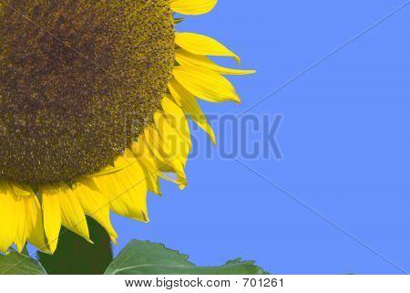 Quarter Sunflower