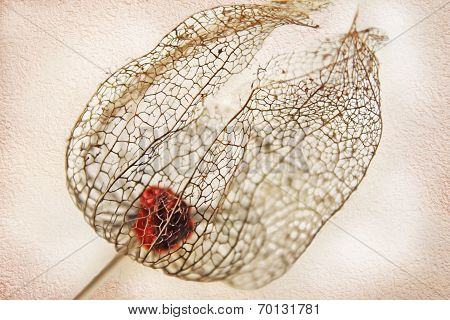 Dried Filigree Bladder Cherry Against Light Beige Wall Background