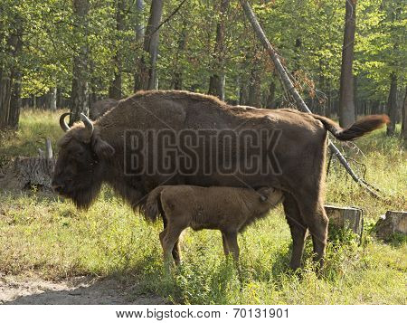 Bison Cow With Calf