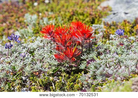 Paintbrush flowers among alpine lichen in Mt. Rainier National Park Washington