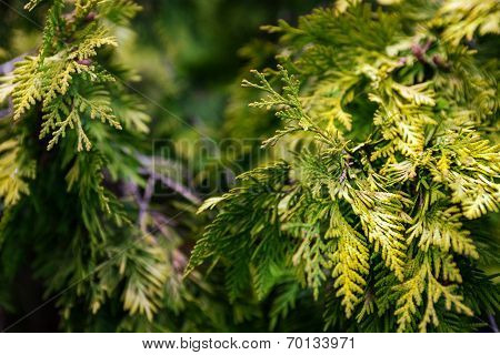 Evergreen Juniper Branches