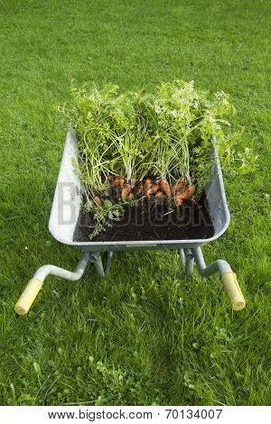 Carrots in a wheelbarrow standing on grass