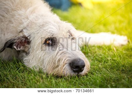 Spreaders Look Of A Irish Wolfhound