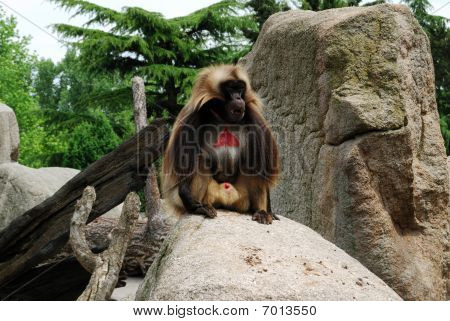 Macaco com pele vermelha