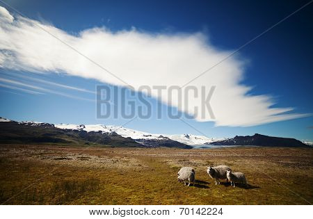 Icelandic Sheep In Meadow