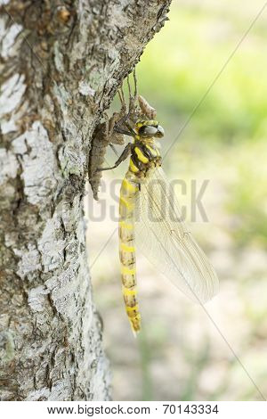 Emerged dragonfly in vertical