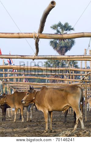 Annual Fair Cow Run Contest Phetchaburi Thailand