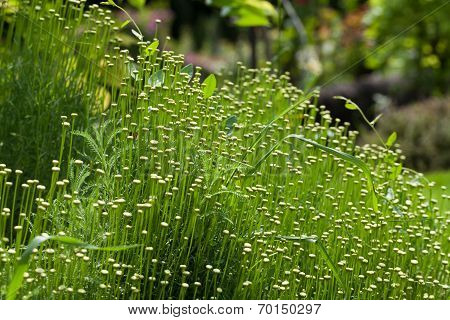 The Santolina is a medicinal plant that smells like chamomile