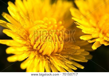 Closeup Of Two Blooming Yellow Dandelion Flowers