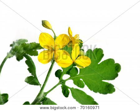 St. John's Wort Flowering Isolated On White