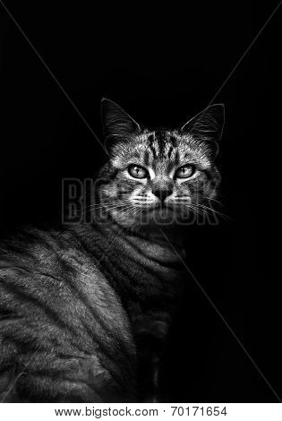 Cat In Black And White