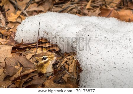 Chipmunk in Winter