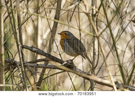 Robin redbreast in spring