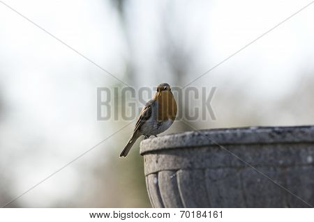 Robin on a stone