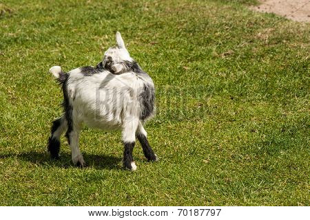 Young Capra Hircus Goat