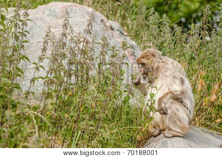 Berber Monkey Eating Nettles