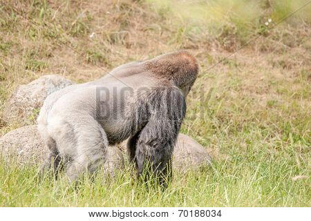 Hairy Gorilla Looking Away