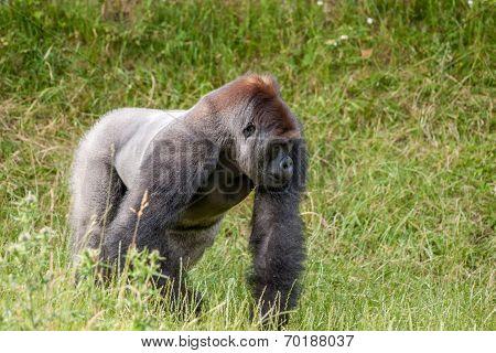 Gorilla On A Grass Field
