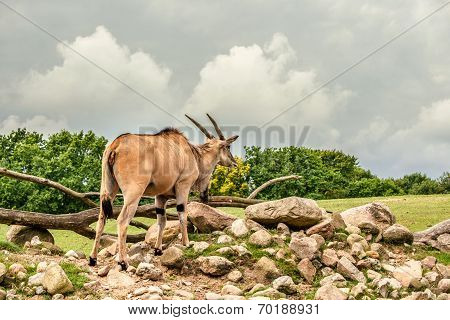 Eland Antelope Standing In Beautiful Nature