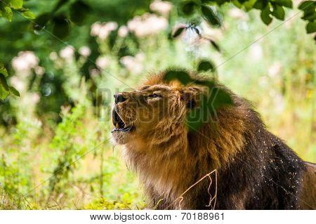 Big Male Lion Roaring