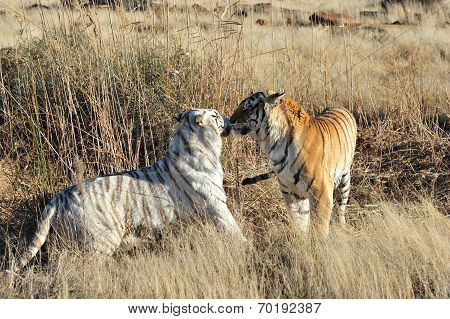 Two Tigers - White and normal colour