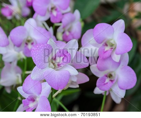 Pink Dendrobium Orchid Flower