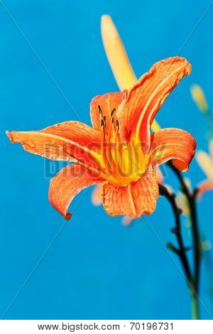 Flower Of Orange Daylily Close Up Outdoors