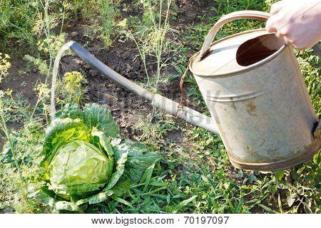 Hand With Handshower Watering Cabbage