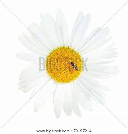 Ox-eye Daisy Flower With Fly Close Up Isolated