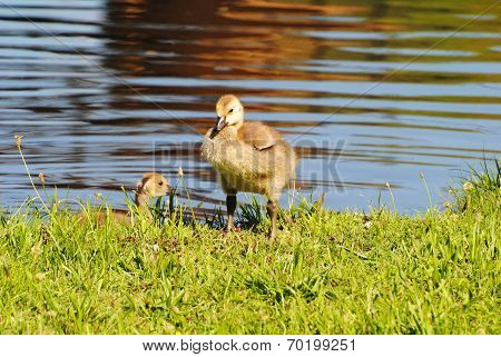 Perfect Canadian Gosling Standing Next To A Pond
